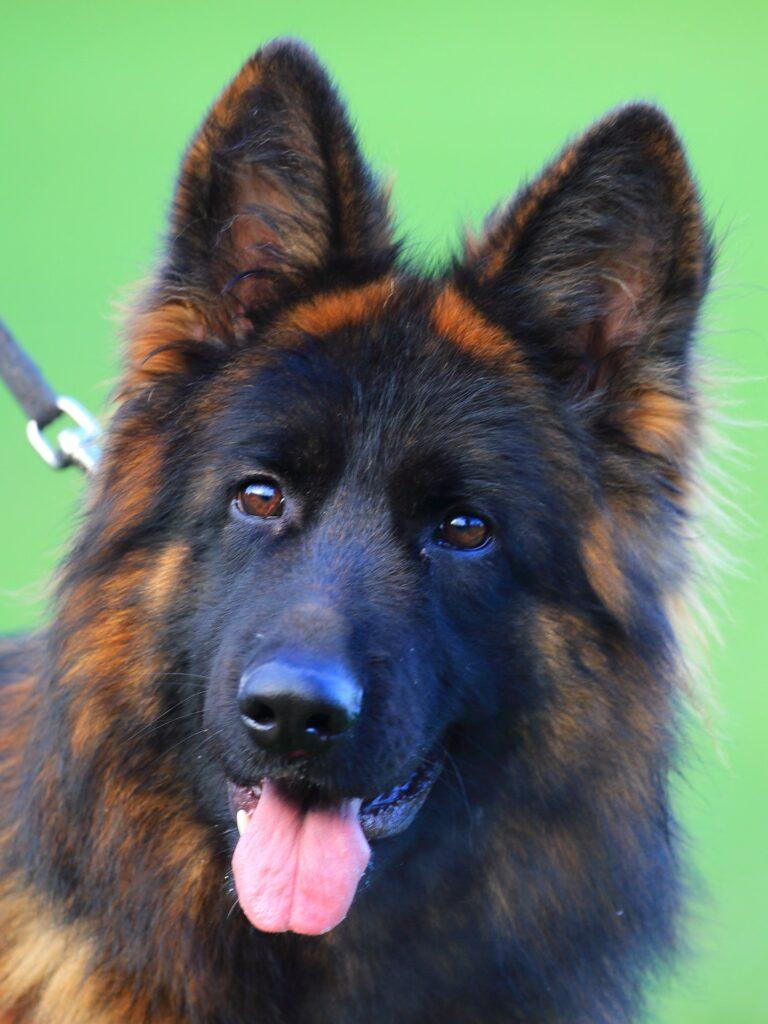 Olexius Yvie - langstockhåret schæferhund