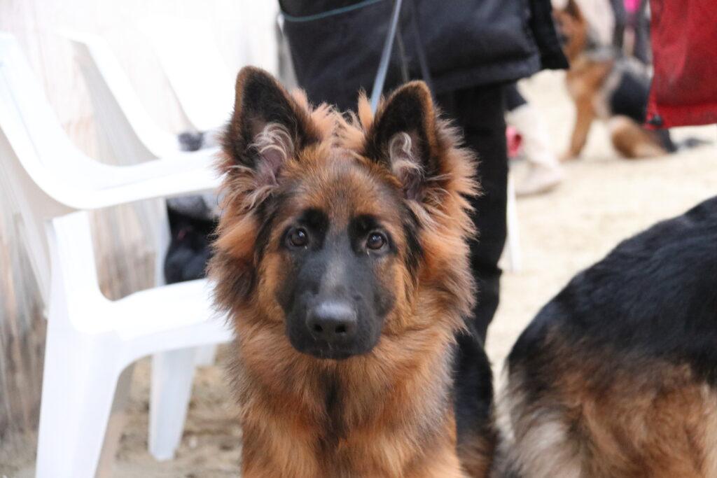 Haus Qira Dea - langstockhåret schæferhund