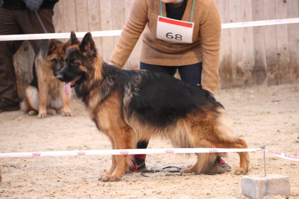 Haus Qira Caja - langstockhåret schæferhund