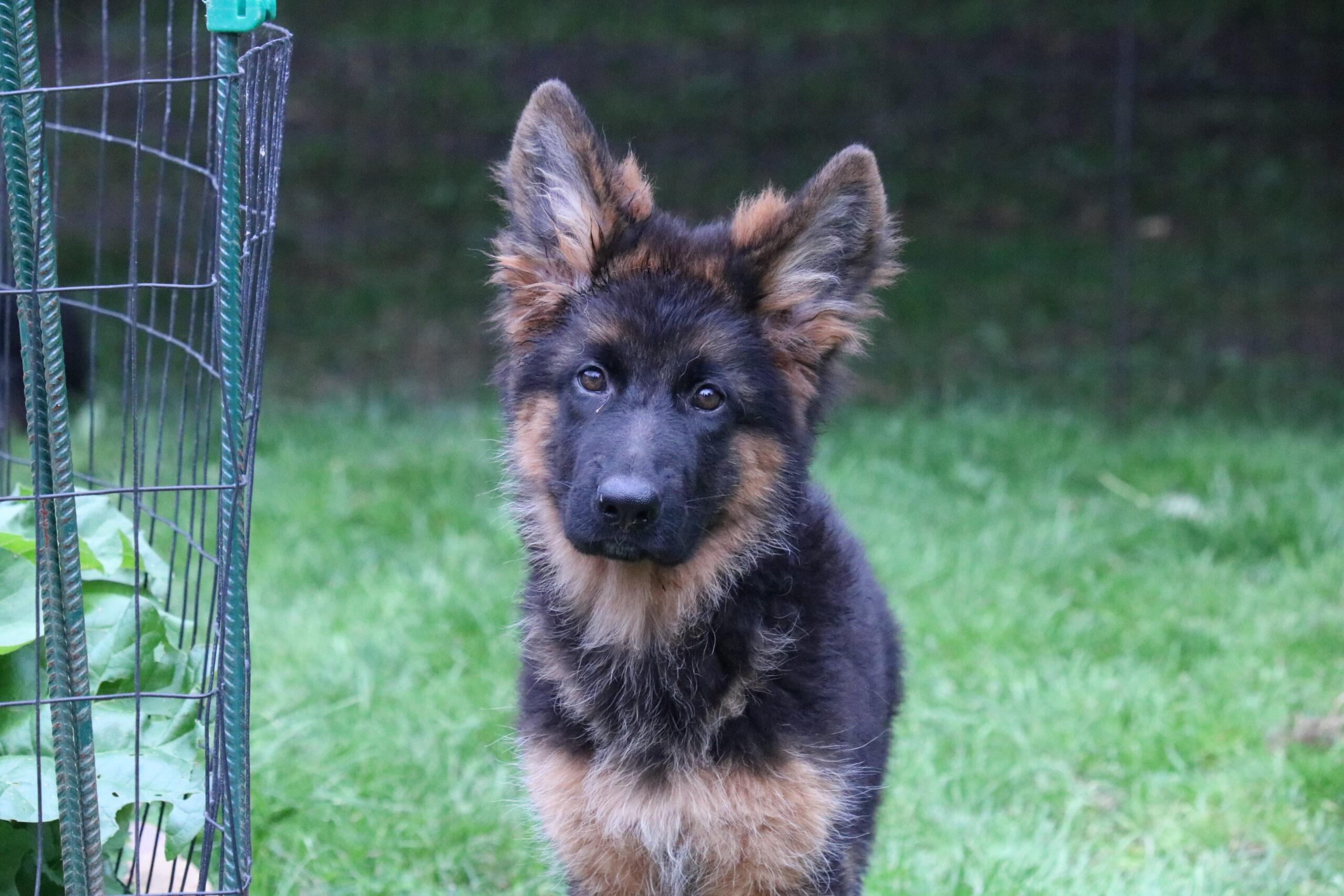 Haus Qira Ixi på 16 uger er klar til at finde sin nye familie **UPDATE** Ixi har fundet sin nye familie!